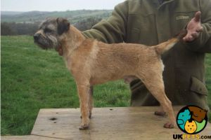 KC reg border terrier