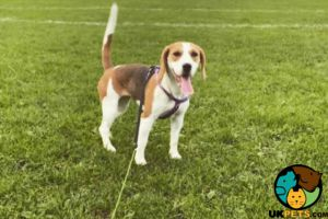 Beagle Online Listings