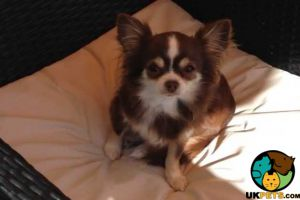 Chihuahua For Sale in Lodon