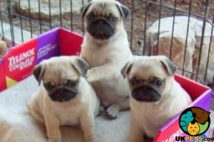 Pug For Sale in the UK