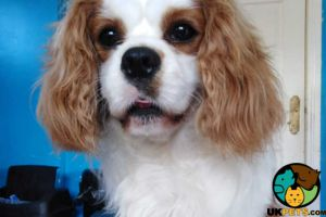Cute Cavalier King Charles Spaniel For Stud