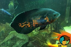 Cichlid For Sale in Lodon