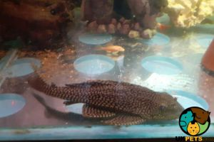 Pleco Fish and Aquatic Breed