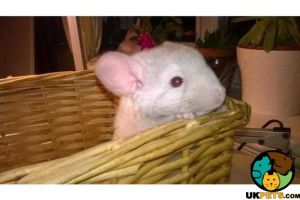 Other Rodent For Sale in Great Britain