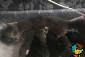 Ocicat Cats Breed