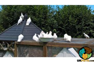 Available Doves