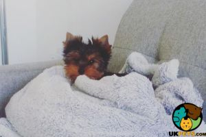 Yorkshire Terrier For Sale in Great Britain