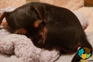 Cute Yorkshire Terrier For Sale