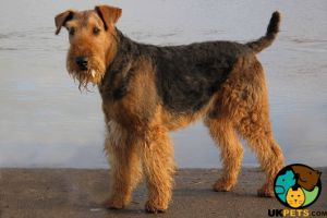 Airedale Terriers for Rehoming
