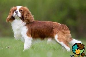 Cavalier King Charles Spaniel Dogs Breed