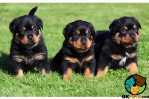 Rottweiler For Sale in Great Britain