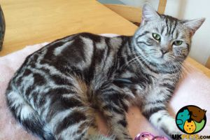 American Shorthair For Sale in Great Britain