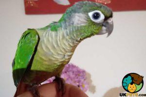 Conure Birds Breed