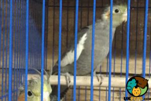 Available Cockatiels