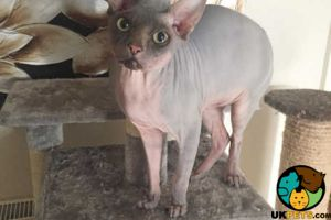 Sphynx For Stud in Great Britain