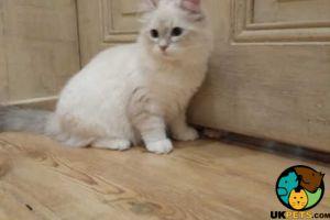 Cute Siberian For Sale