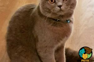 Scottish Fold For Stud in Great Britain