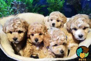 Bichon Frise Dogs Breed