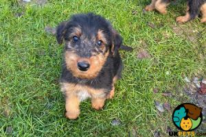 Airedale Terrier Online Ad