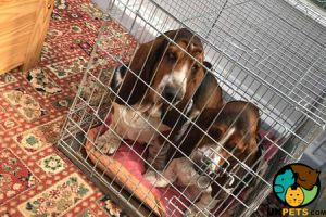 Available Basset Hounds