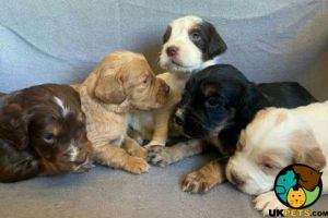 Available Clumber Spaniels
