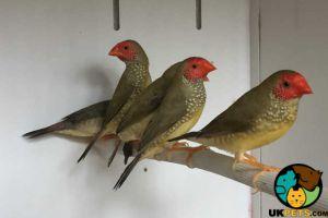 Finch Birds Breed