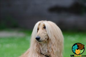Afghan Hound Dogs Breed