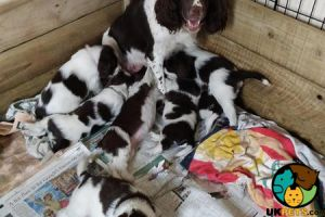 English Springer Spaniel For Sale in Great Britain