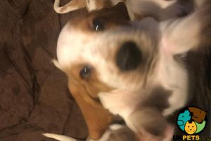 Basset Hounds for Rehoming