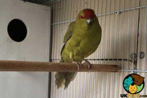 Parakeets