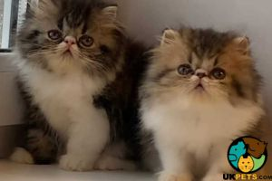 Balineses for Rehoming