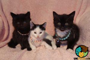Turkish Van Cats Breed