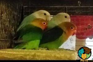 Lovebird For Sale