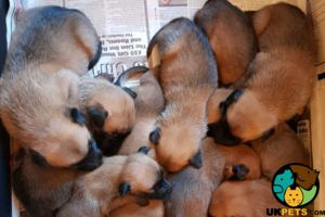 Belgian Malinois For Sale in Great Britain