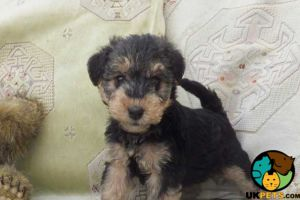 Available Lakeland Terriers