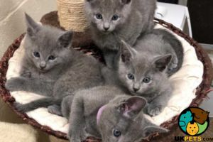 Russian Blue for Rehoming
