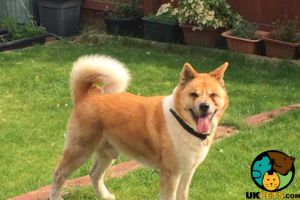 Akitas for Rehoming