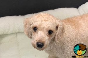 Poodles for Rehoming