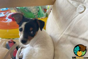 Jack Russell For Sale in Lodon