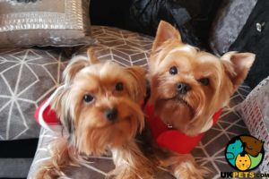 Biewer Terrier for Rehoming