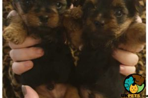 Biewer Terrier For Sale