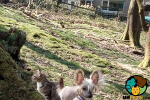Chinese Cresteds for Rehoming