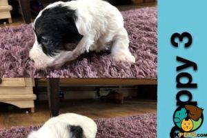 Cute Sealyham Terrier For Sale