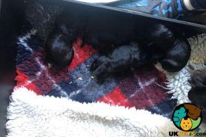 Cesky Terrier Advertisement UK Pets