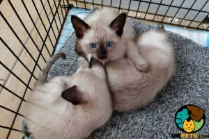 Siamese for Rehoming