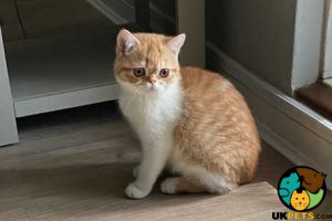 Exotic Shorthair For Sale in Lodon