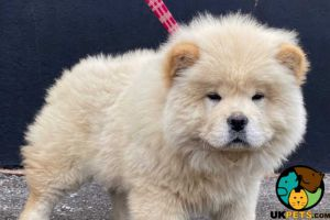 Chow Chow For Sale in the UK