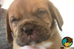 Dogue De Bordeaux Advertisement UK Pets