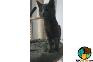 Russian Blue For Sale