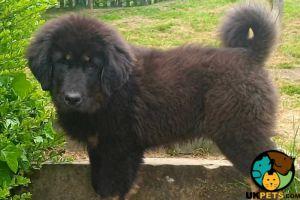 Tibetan Mastiff Online Ad